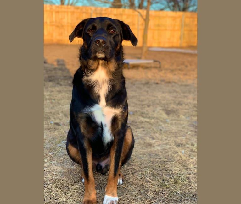 Photo of Smokey, a Labrador Retriever, Border Collie, Australian Cattle Dog, English Springer Spaniel, Chow Chow, and Mixed mix in Missouri, USA