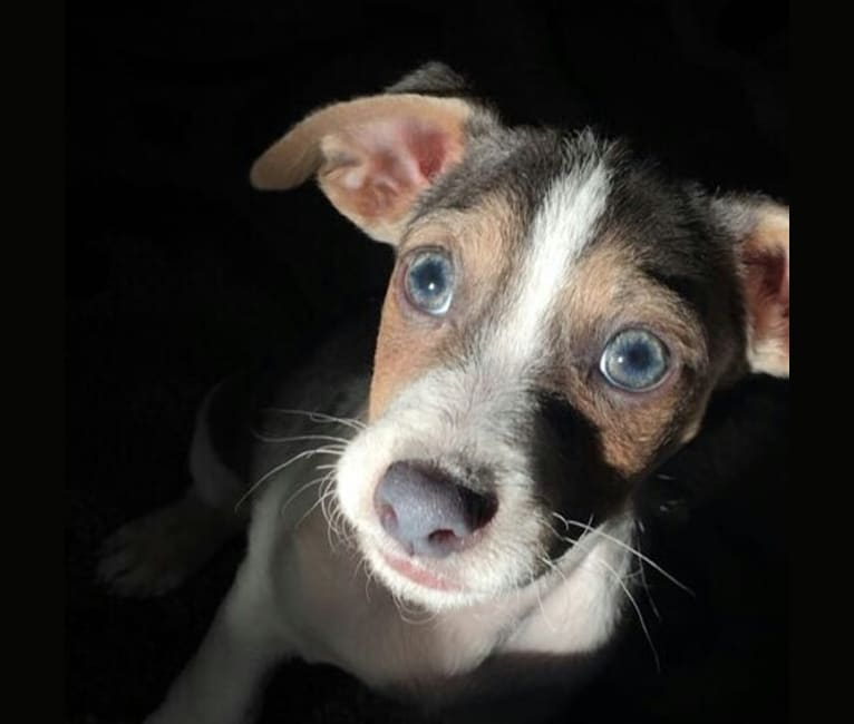 Photo of Finn or Finny, a Russell-type Terrier, Dachshund, Rat Terrier, Australian Shepherd, and Mixed mix in Georgia, USA