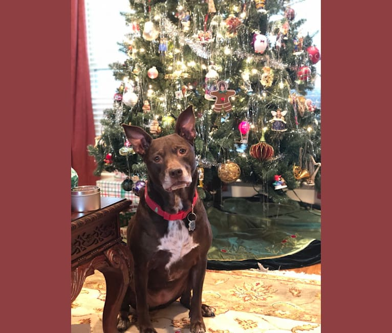 Photo of Halle, an American Pit Bull Terrier, Catahoula Leopard Dog, and Mixed mix in Baton Rouge, LA, USA