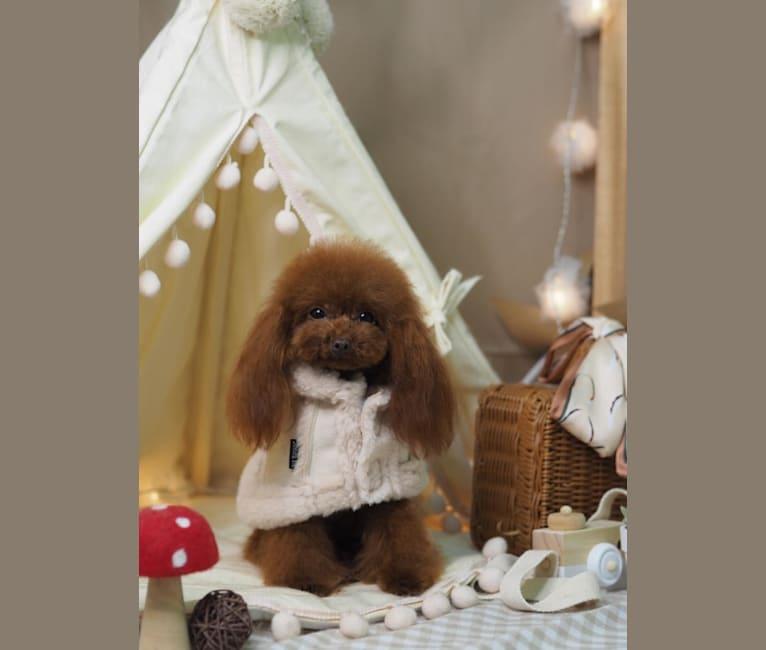 Photo of Hazel Basel, a Poodle (Small)  in Hong Kong