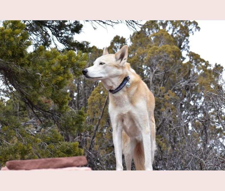 Photo of Roco, an Alaskan-type Husky  in Taylorsville, Utah, USA
