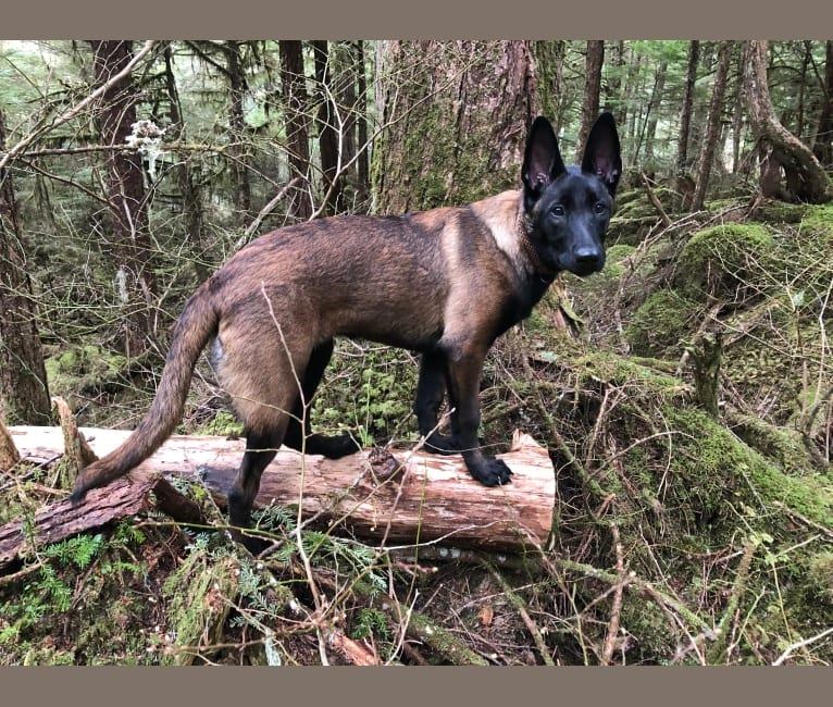Photo of Bran, a Belgian Shepherd  in La Pine, OR, USA