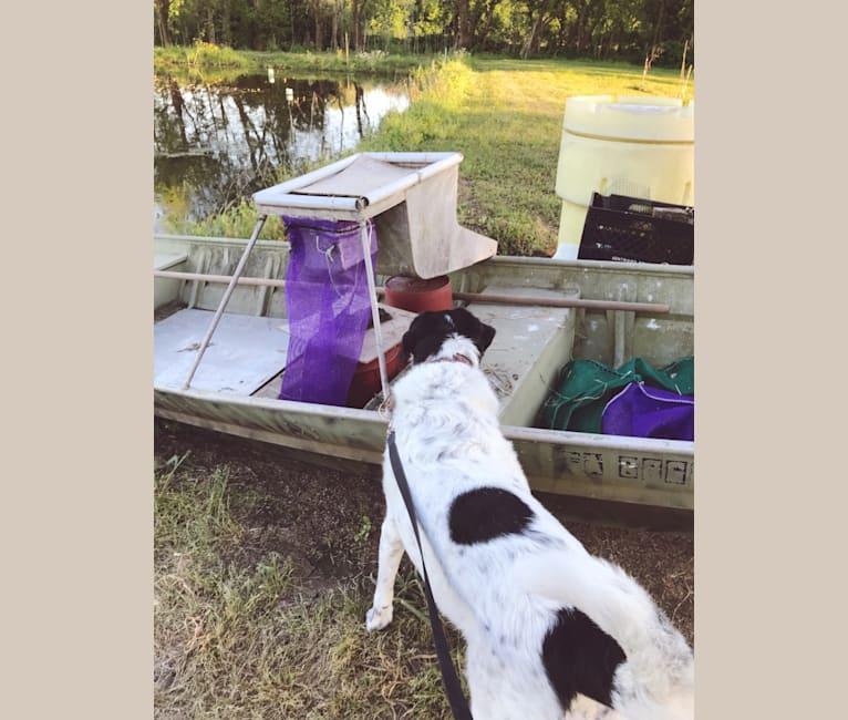 Photo of Sheba, a Labrador Retriever and Great Pyrenees mix in Galliano, Louisiana, USA