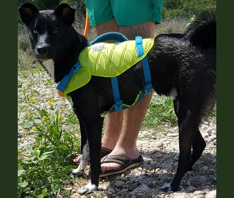 Photo of Rook, a Siberian Husky, Labrador Retriever, American Pit Bull Terrier, Chow Chow, and Mixed mix in Baytown, Texas, USA