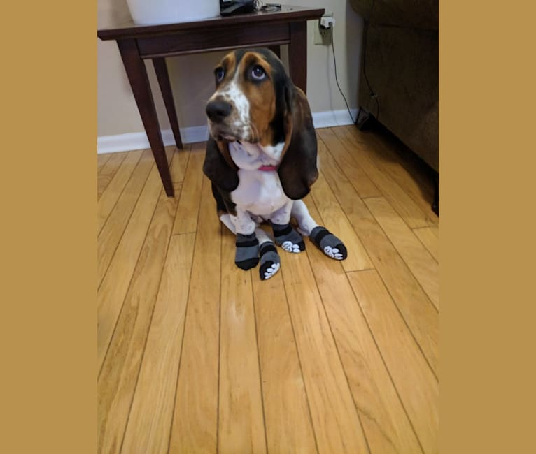 Photo of Daisy May McCutchan (Daisy), a Basset Hound  in Ayden, NC, USA