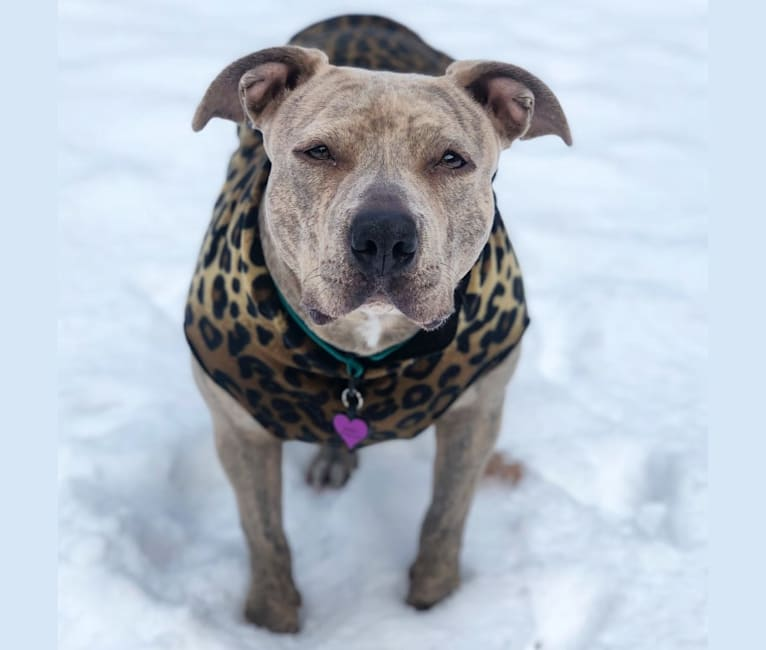 Photo of Josie, an American Bully  in Wisconsin, USA