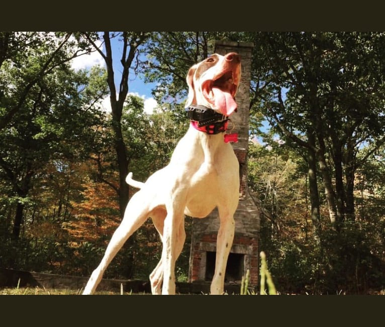 Photo of Rosie, a Pointer  in Wilton, Connecticut, USA