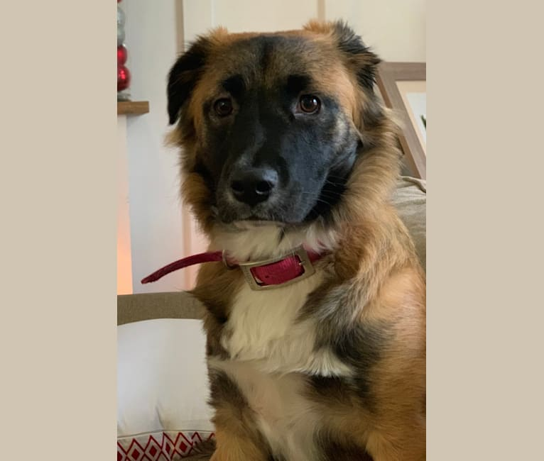 Photo of Penny, an American Pit Bull Terrier, German Shepherd Dog, Chow Chow, and Mixed mix in Tega Cay, South Carolina, USA
