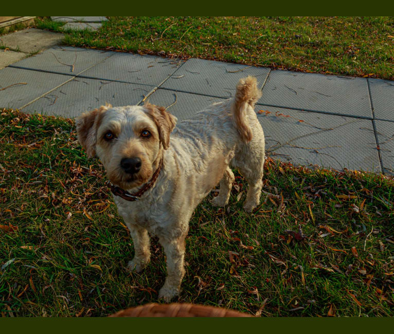 Photo of Hazel, a Soft Coated Wheaten Terrier  in Sarnia, ON, Canada