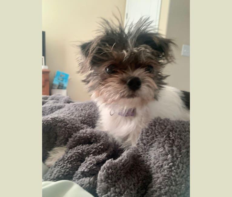 Photo of Nelly, a Shih Tzu, Chihuahua, and Pomeranian mix in Key Largo, Florida, USA
