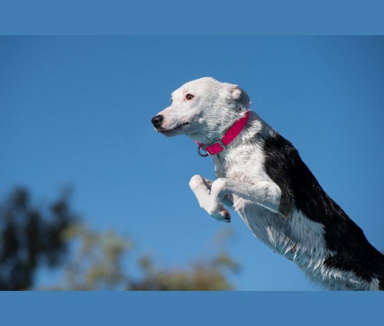 Photo of Replay, a Border Collie, Australian Shepherd, and Australian Cattle Dog mix in Arizona, USA