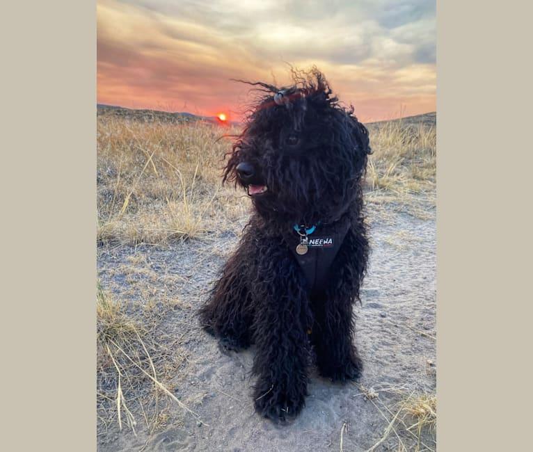 "Photo of Sky Blue Ede Laszlo ""Laszlo"", a Puli  in Lewis, Colorado, USA"