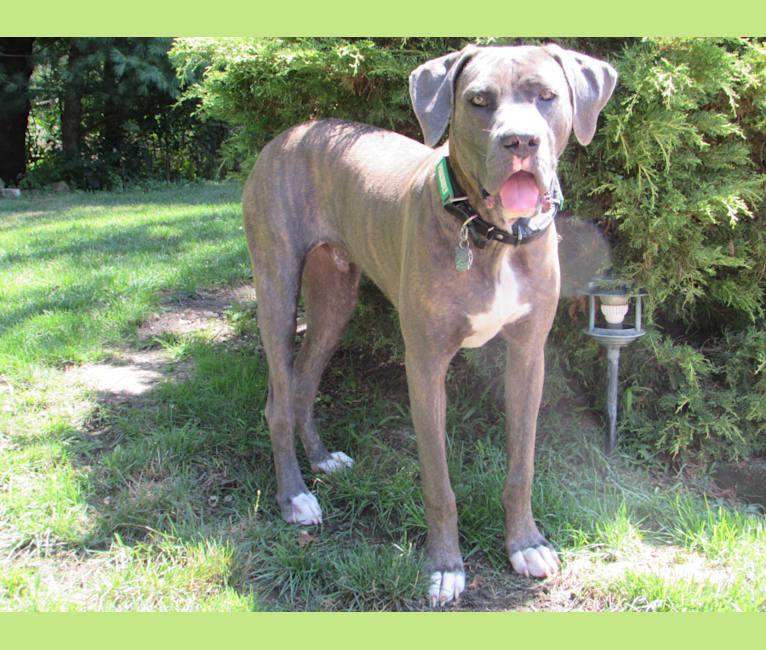 Photo of Brody, an American Bulldog and Neapolitan Mastiff mix in New York City, NY, USA
