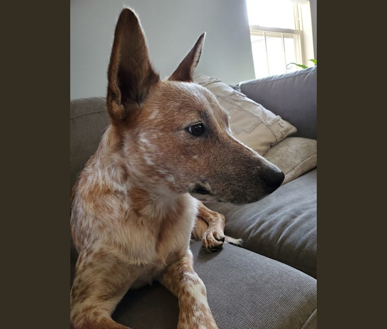 Photo of Sam Elliott, an Australian Cattle Dog  in Gainesville, Virginia, USA