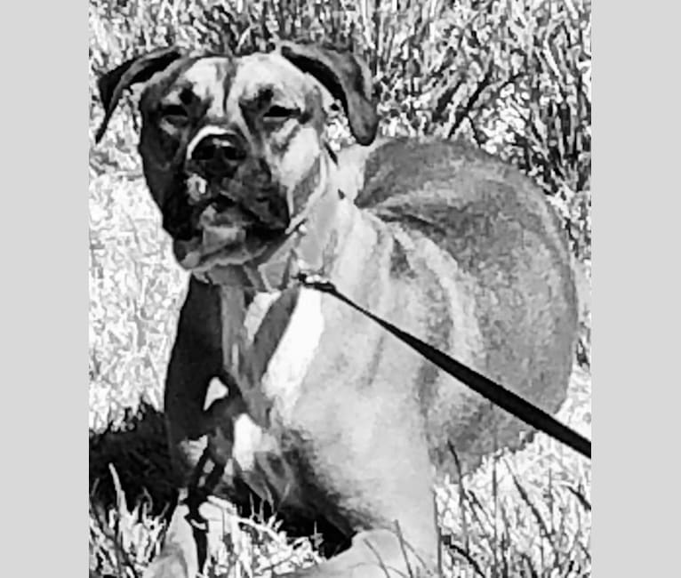 Photo of Roxy, an American Pit Bull Terrier