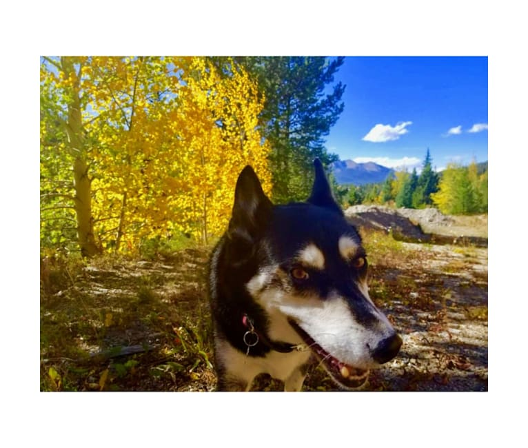 Photo of Maliki, a Siberian Husky, Australian Cattle Dog, and Mixed mix in Denver, Colorado, USA