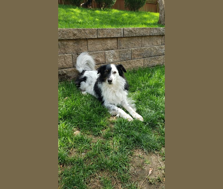 Photo of Hadley, a Chihuahua, Australian Cattle Dog, Australian Shepherd, and Mixed mix in Franklin, Tennessee, USA