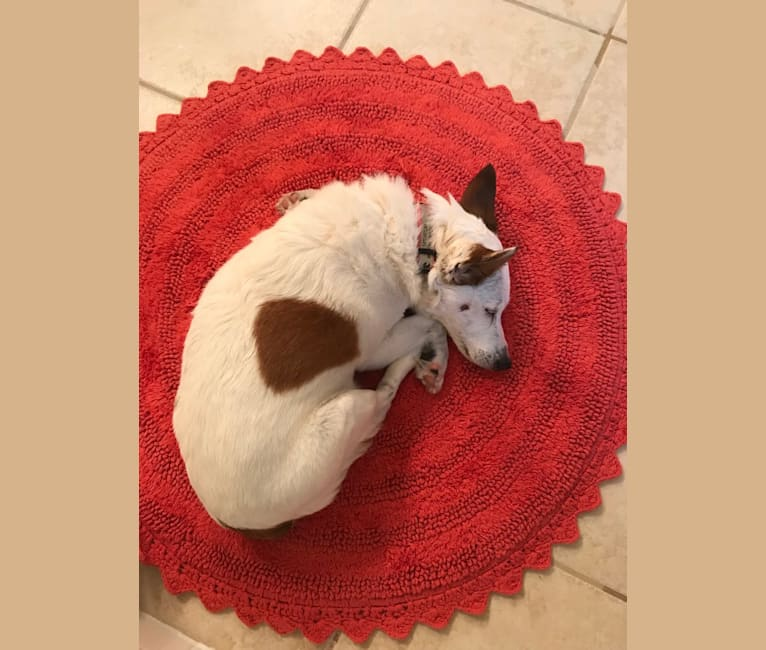 Photo of Olive, a Russell-type Terrier  in Denton, Texas, USA