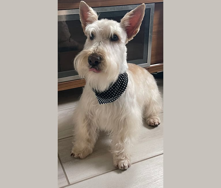 Photo of King, a Scottish Terrier  in Idaho Falls, ID, USA