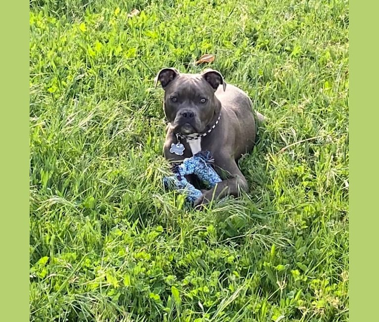 Photo of Tommy Lee, an American Bully  in Loomis, California, USA