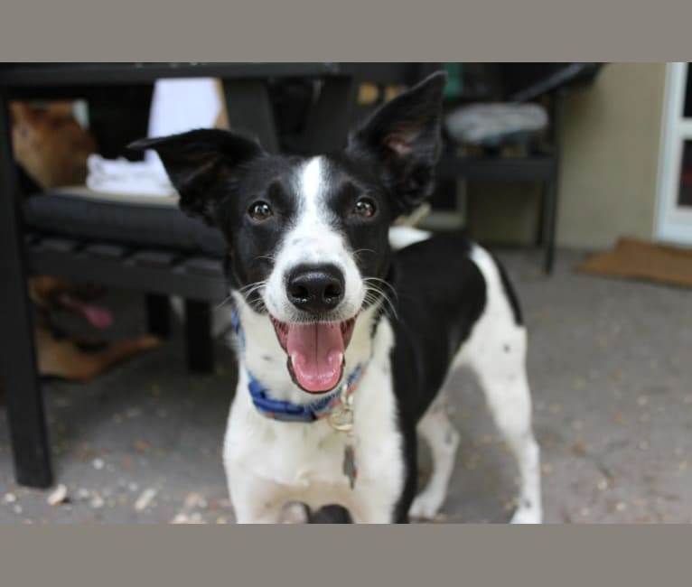 Photo of Luca, a Labrador Retriever, Australian Cattle Dog, Poodle (Small), Rat Terrier, and Mixed mix