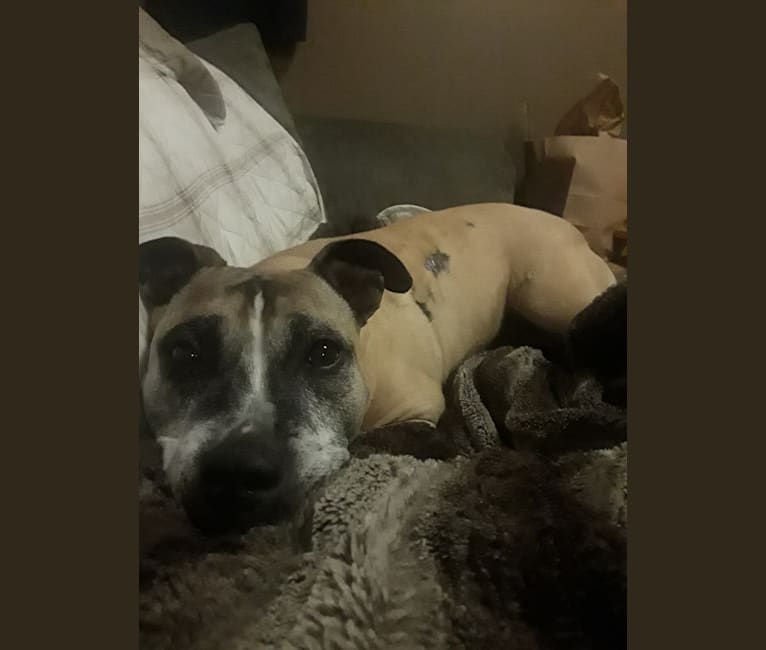 Photo of Hazel, an American Staffordshire Terrier  in The Dalles, Oregon, USA