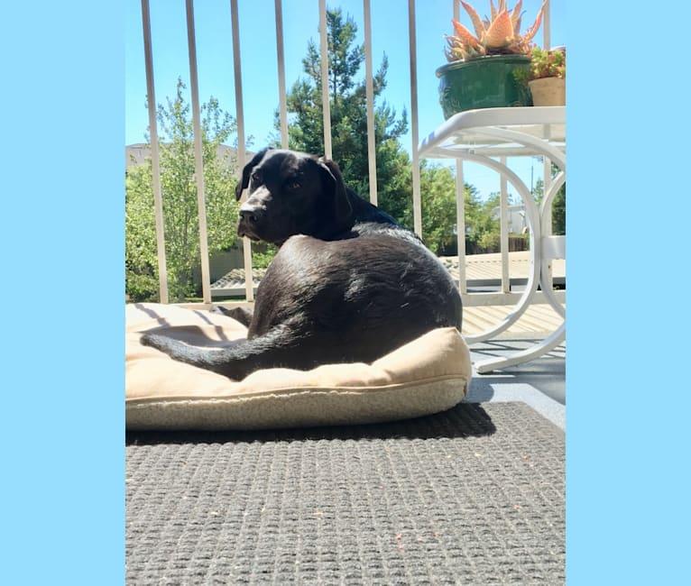 Photo of Lucy, a Labrador Retriever  in Santa Rosa, California, USA