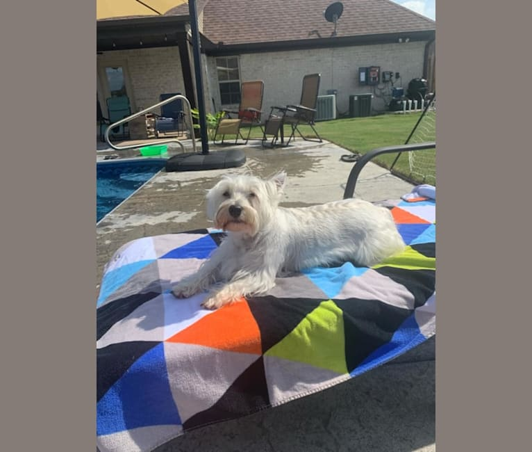 Photo of Peyton, a West Highland White Terrier  in Tennessee, USA