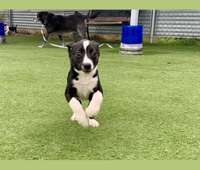 Photo of Wesley, an American Pit Bull Terrier, Golden Retriever, German Shepherd Dog, Labrador Retriever, American Staffordshire Terrier, and Mixed mix in Brother Wolf Animal Rescue, Glendale Avenue, Asheville, NC, USA