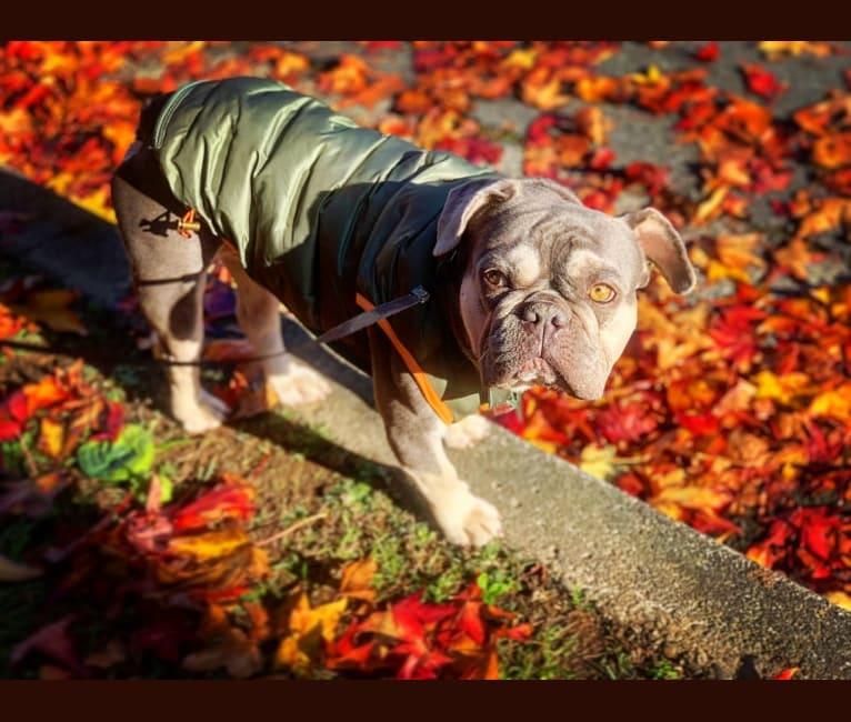 Photo of Hank, a French Bulldog  in Southern California, CA, USA