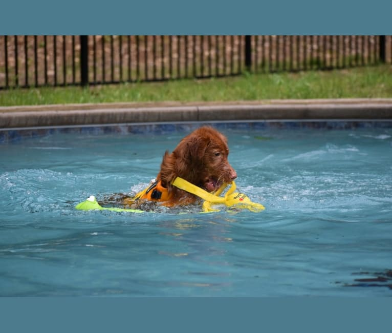 Photo of Ajax, a Nova Scotia Duck Tolling Retriever  in Whitby, ON, Canada