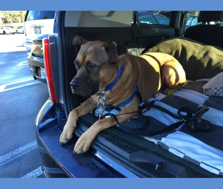 Photo of Jax, an American Pit Bull Terrier, Chow Chow, and Rottweiler mix in Culver City, California, USA