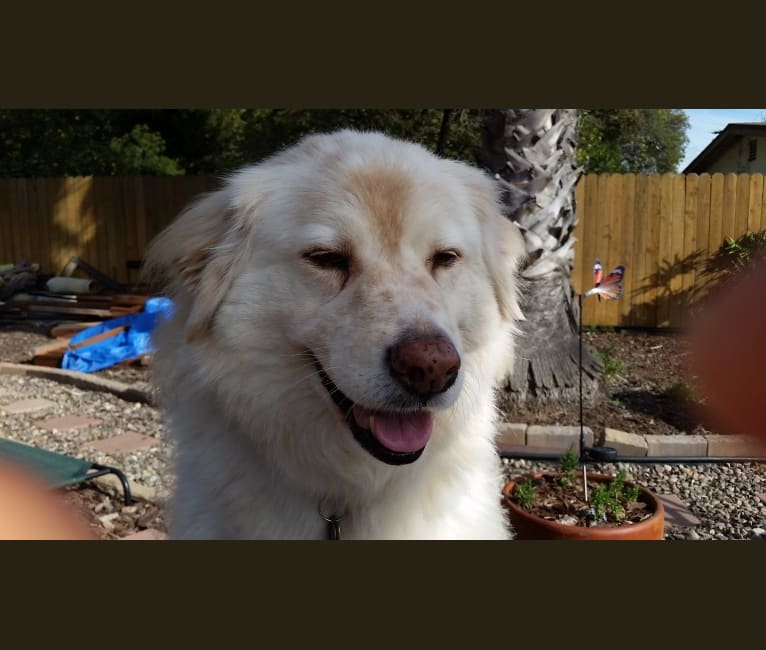 Photo of Sonny, a Chow Chow, American Pit Bull Terrier, German Shepherd Dog, Pomeranian, and American Eskimo Dog mix in San Diego, California, USA