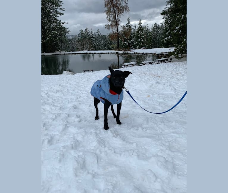 Photo of Beau, a Formosan Mountain Dog  in Loomis, California, USA