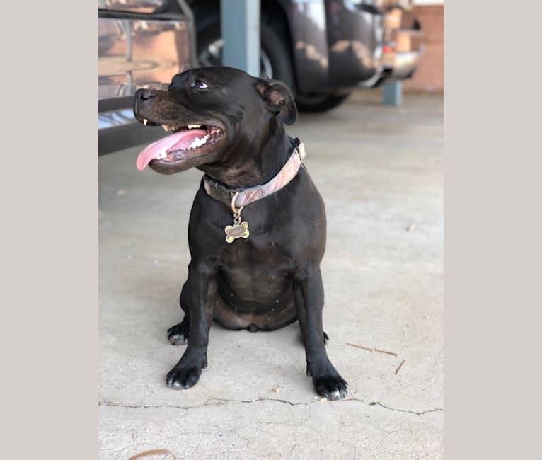 Photo of Lola, a Staffordshire Bull Terrier  in Tijuana, Baja California, Mexico