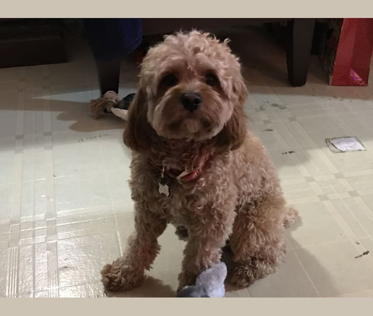Photo of Keeper, a Cavapoo  in Lancaster, PA, USA