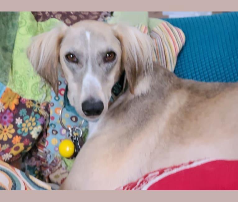 Photo of Phinn, a Saluki  in Kuwait