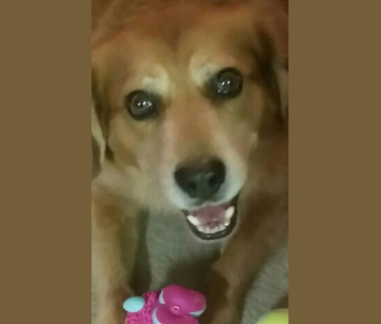 Photo of Reddington, a Beagle, American Pit Bull Terrier, Miniature Pinscher, Chow Chow, and Mixed mix in Lake City, Florida, USA