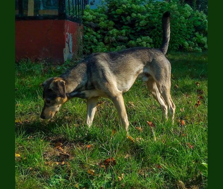 Photo of Medutis (Little Honey), an Eastern European Village Dog  in Lithuania