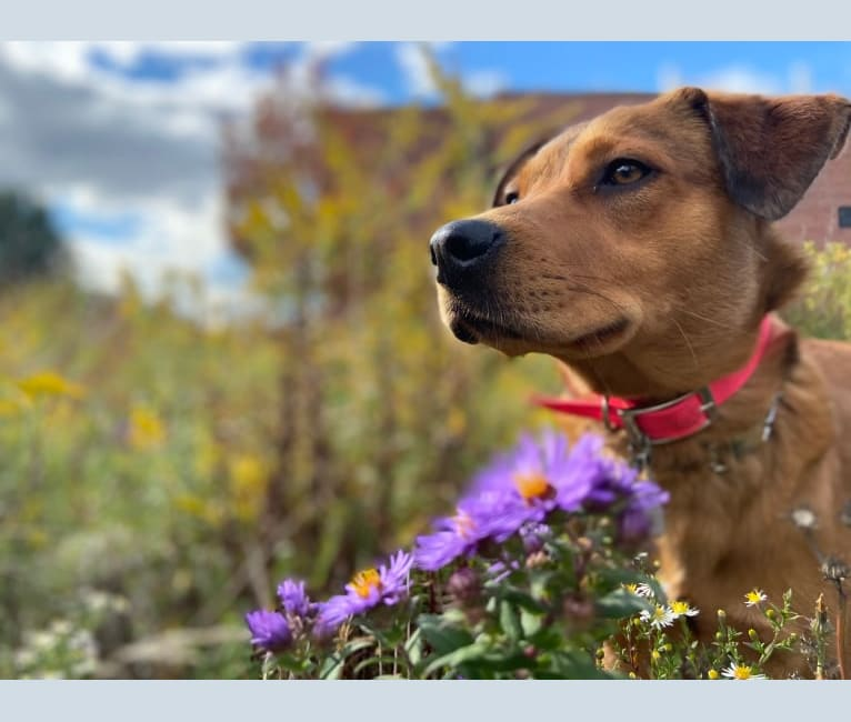 Photo of Tucker, an Australian Shepherd, Australian Cattle Dog, American Pit Bull Terrier, Beagle, and Mixed mix in Montgomery, Alabama, USA