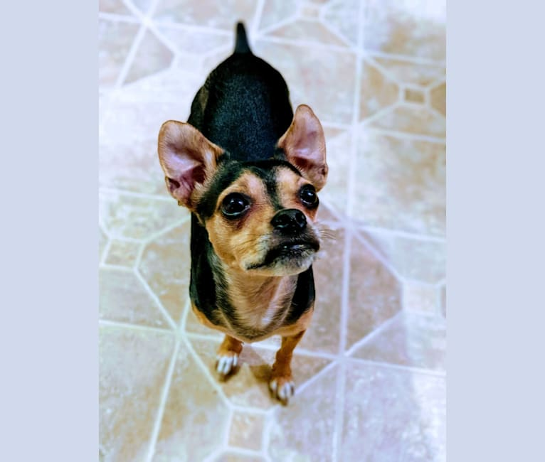 Photo of Bruiser, a Chihuahua, Boston Terrier, Poodle (Small), and Mixed mix in Chillicothe, Ohio, USA