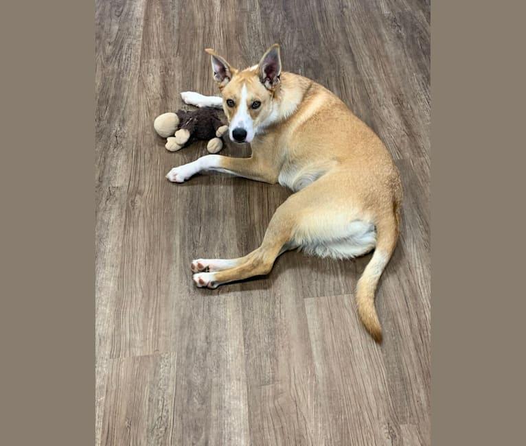 Photo of Hawk, a Carolina Dog  in South Carolina, USA