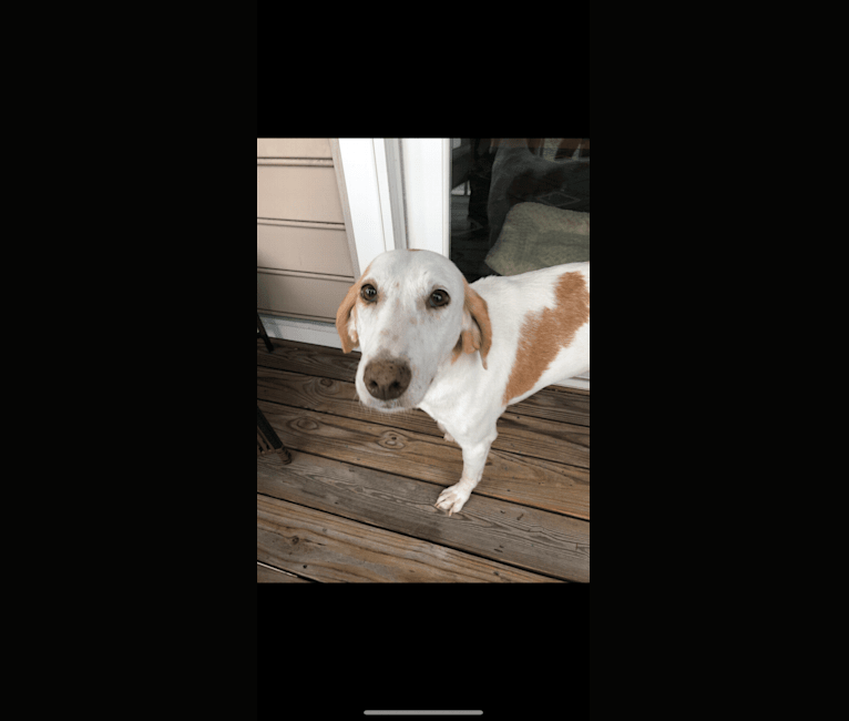 Photo of Lily, an American Foxhound  in Norfolk, VA, USA