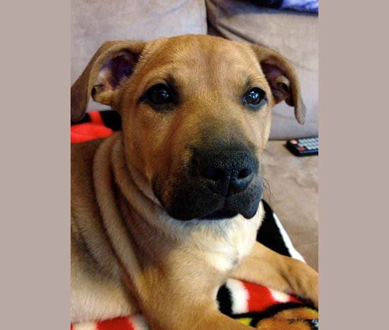 Photo of Zoe, an American Pit Bull Terrier, Chow Chow, and Labrador Retriever mix in USA