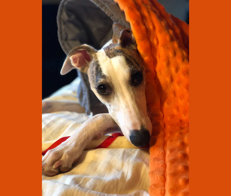 "Photo of Luna Beam ""Hopper"" O'Amulet, a Whippet  in Goldendale, WA, USA"