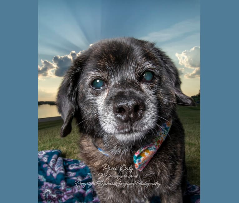 Photo of Mr. Muggles, a Cocker Spaniel, Chihuahua, and Mixed mix in Memphis, TN, USA