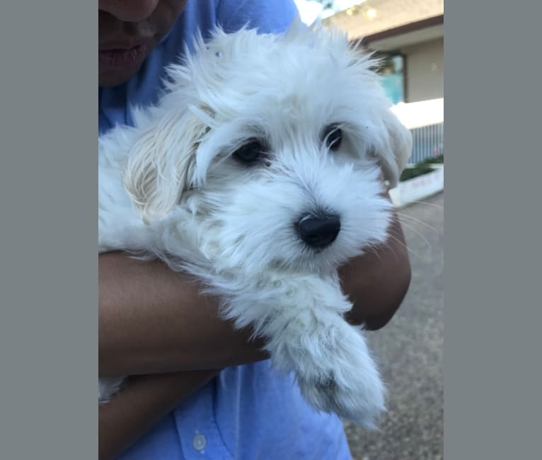 Photo of Nico, a Poodle (Small), Maltese, and Mixed mix in Stockton, CA, USA
