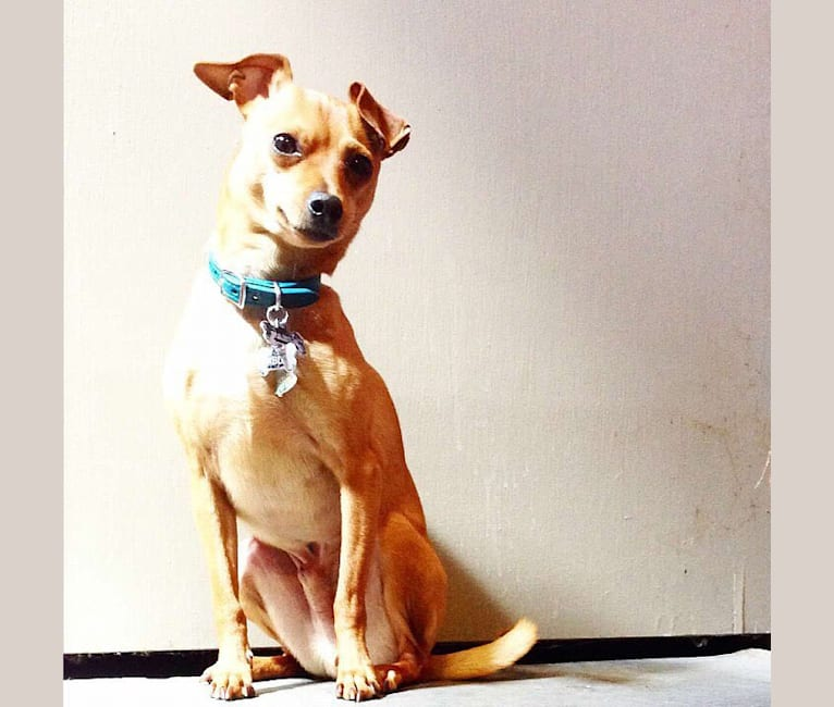 Photo of Pablo, a Miniature Pinscher, Rat Terrier, and Chihuahua mix in North Carolina, USA
