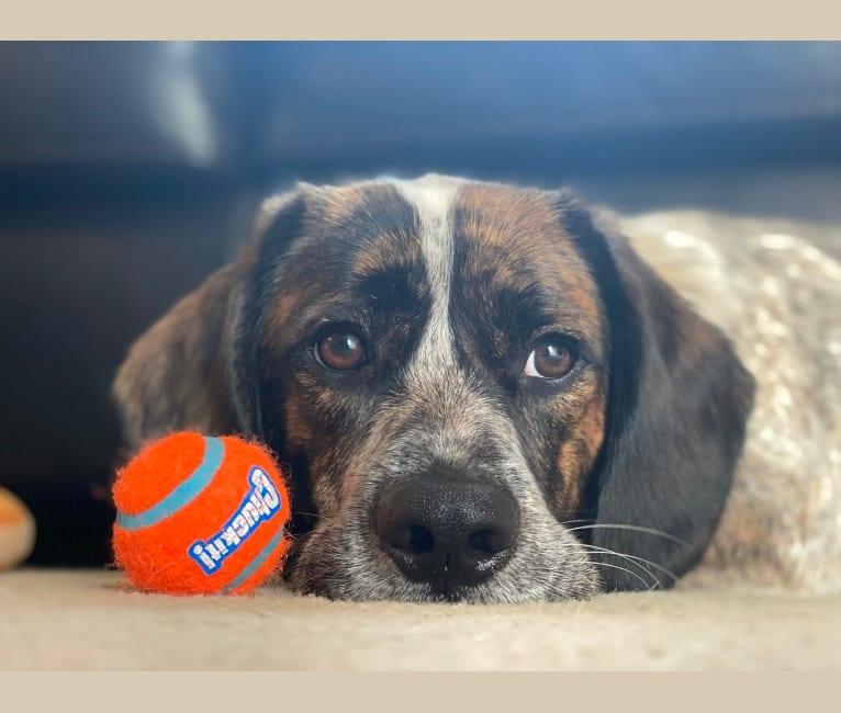 Photo of Brownie, a Beagle, Pekingese, Mastiff, Labrador Retriever, and Basset Hound mix in Long Grove, Iowa, USA