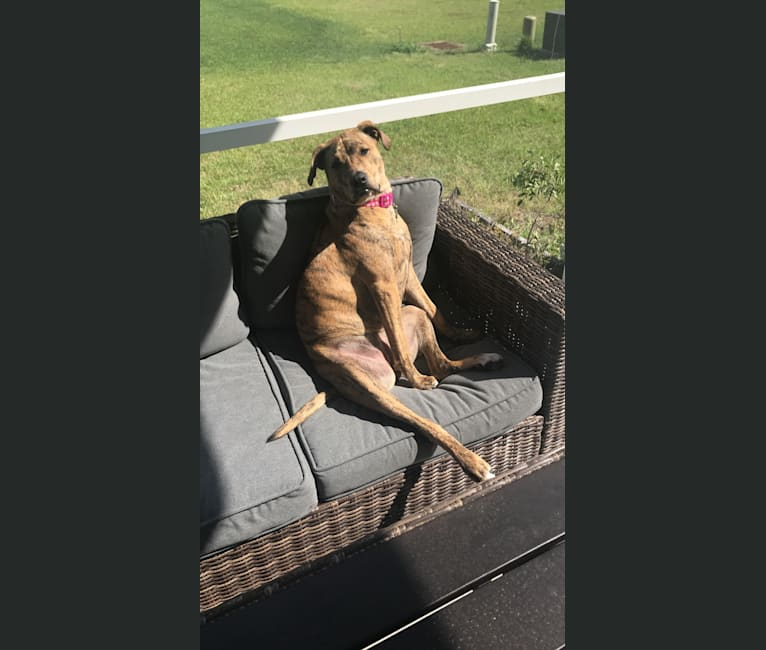 Photo of Thora, an American Pit Bull Terrier and Labrador Retriever mix in Athens, Georgia, USA